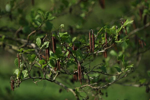 Schwarz-Erle (Alnus glutinosa)