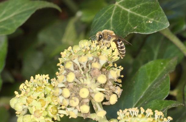 Typischer Blütenstand des Efeus mit einer Efeu-Seidenbiene beim Sammeln von Pollen und Nektar