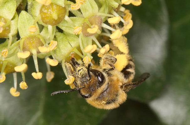 Eine Efeu-Seidenbiene leckt mit ihrem Rüssel Nektar in der Blüte des Efeus