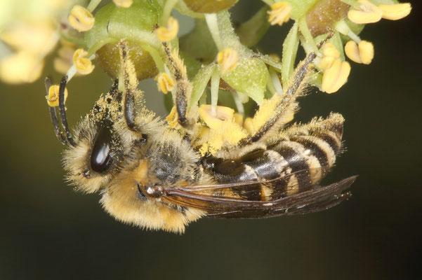 Die Efeu-Seidenbiene sammelt und transportiert den Pollen an den Hinterbeinen. Hier kann man die langen Haare am Hinterbein sehen, an denen der Pollen haftet.