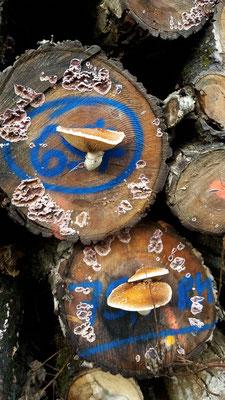 Stilleben mit Pilzen an geschlagenem Kiefernstämmen, Bild: Claudia Rüther