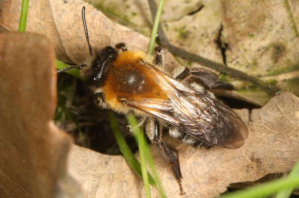 Rotschopfige Sandbiene (Andrena haemorrhoa)