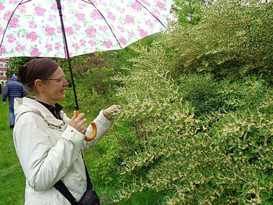 Karin Parpin bewundert die Blüten der Schirm-Ölweide (Foto: Thomas Hövelmann)