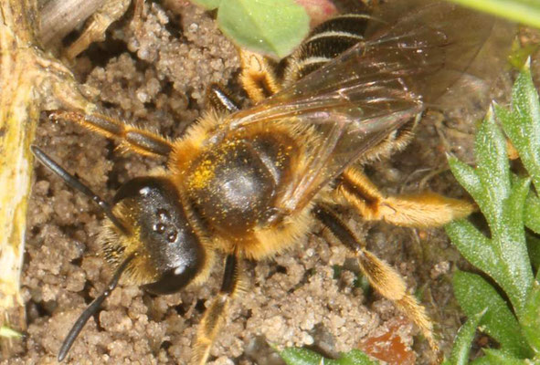 Rotbeinige Furchenbiene (Halictus rubicundus)