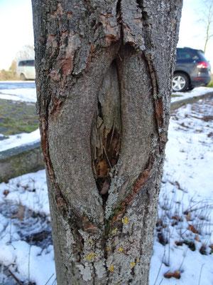 Dieser Stammschaden ist zu tief, um trotz aller Bemühungen durch randliches Gewebewachstum vom Baum geschlossen zu werden (Foto: Claudia Frank)
