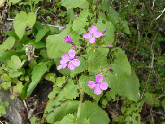silberblatt in blüte
