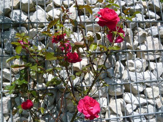 rose: gruß aus heidelberg