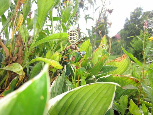 im juli und august in meiner streuobstwiese häufig anzutreffen: wespenspinne