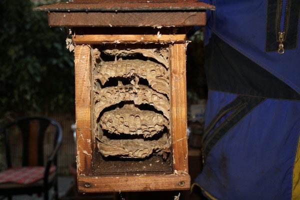 die wohnkammern im querschnitt, die hornissen sind wohl ausgezogen. jänner 2019