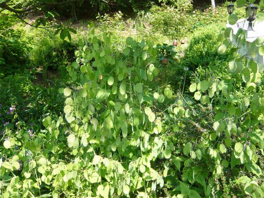 abgeblühtes silberblatt