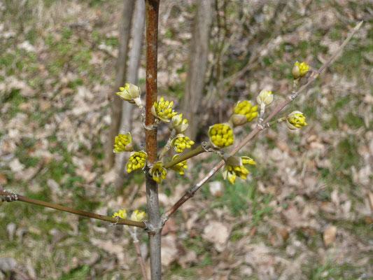 blüten der kornelkirsche – dirndlstrauch