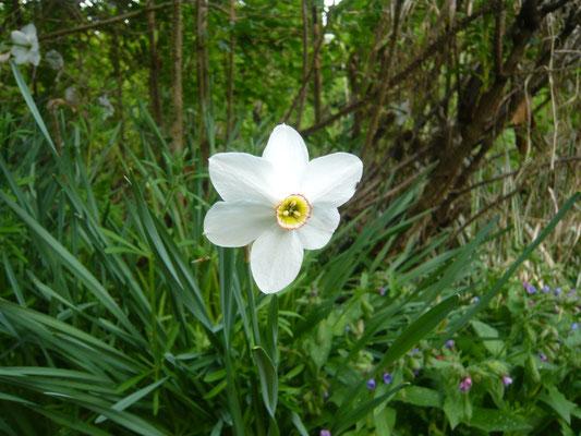 dichternarzisse – ein wunderbarer duft