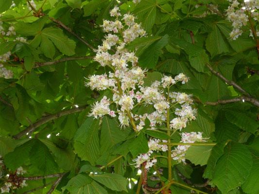 rosskastanienblüte