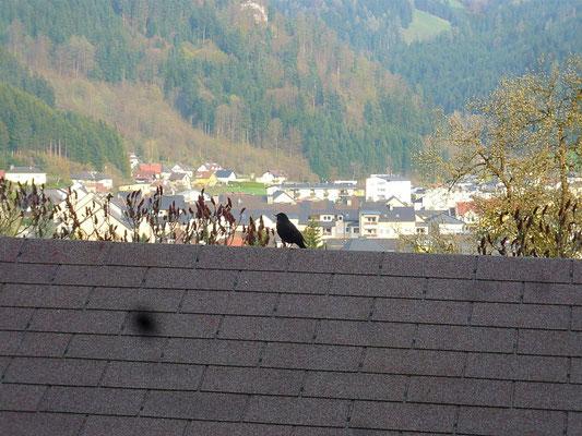 über den dächern von brückl - ein amselmännchen