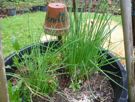 schnittlauch – braucht viel kompost