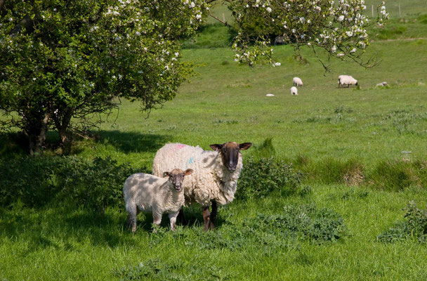 A pair of sheeps near Dover