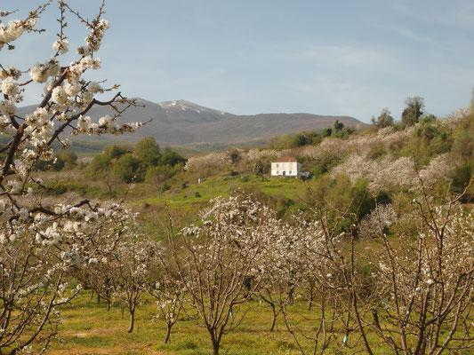 """Das lokale Kirschanbaugebiet produziert frühe (Juni) """"Tragana-Kirschen aus Rodochori"""" auf zur Blüte frostfreien Höhenlagen um 600 m im Winter aber – trotz Klimawandels – mit ausreichend"""