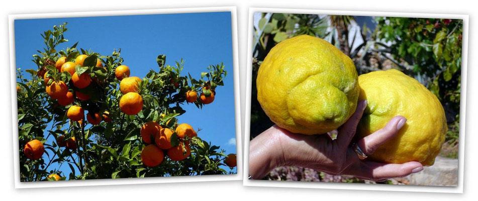 Orangenplatage - Zitronen aus Ivons Garten