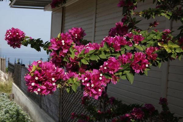 Die Orleander blüht noch.