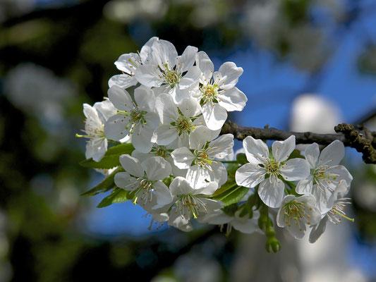 Kirschblüte © c.rebl