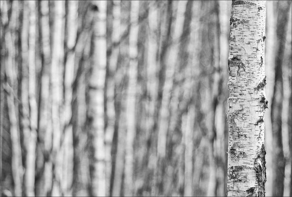 Birkenwald / Pürgschachner Moor © c.rebl