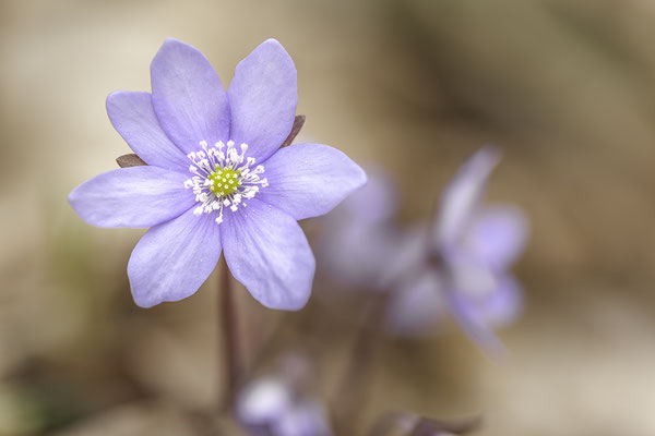 Leberblümchen © c.rebl