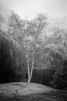 """""""Zwei weiße Birken"""" © c.rebl"""