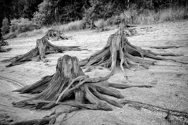 Baumstumpf II / Stausee Ottenstein © c.rebl