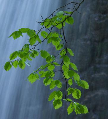 Frisches Blattgrün © c.rebl