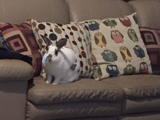 Former foster bunny Harper has some nice sofa pillows to go with her couch!