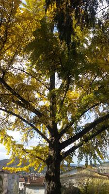 Ginko Biloba en automne - Parc Seignobos - Lamastre - Ardèche - 07