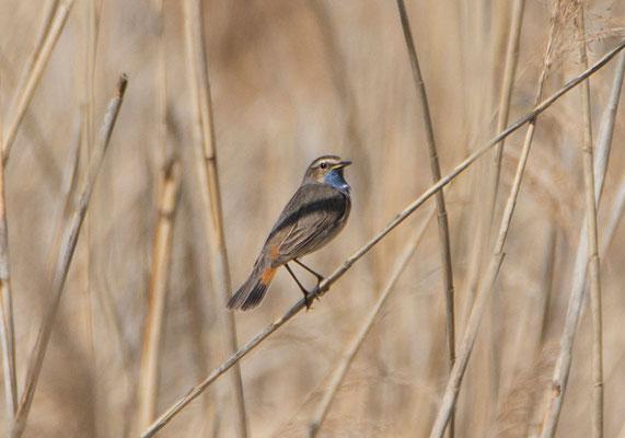 Blaukehlchen, Foto: NABU M. Kremer