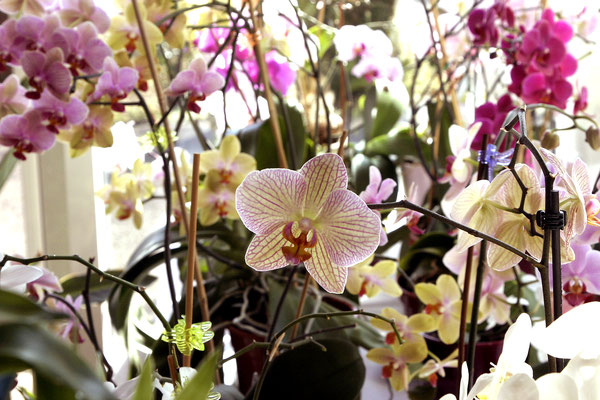 Orchids - magic of Asia
