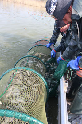 Trappnetzfischerei auf verbutteten Giebel-Bestand in Nordserbien