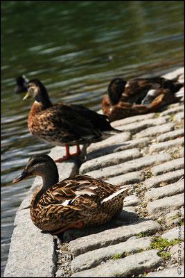 Ducks at Seepark