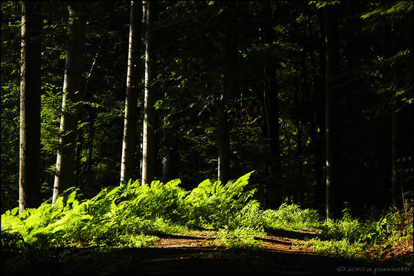 Light rays on ferns, somewhere in the Black Forest (Schwarzwald)