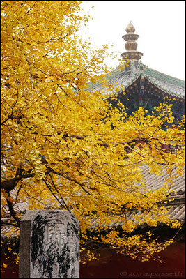 The old and glorious tree inside the Shaolin Temple