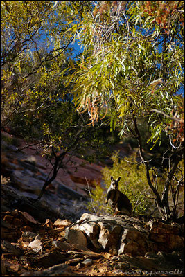 Wallaby in Alice Springs