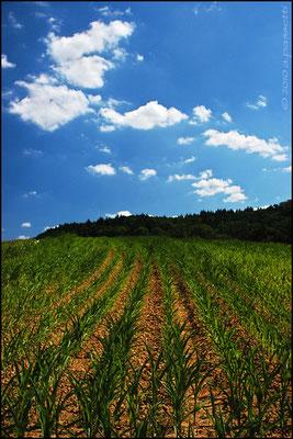 Korn fields between Wildtal and Heuweiler