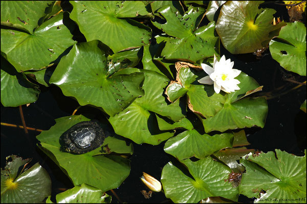 Turtle and Water Lily flower at Seepark lake