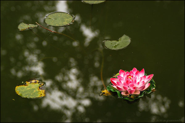 A Water Lily flower floating gently in the pool of Ge Garden, Yangzhou