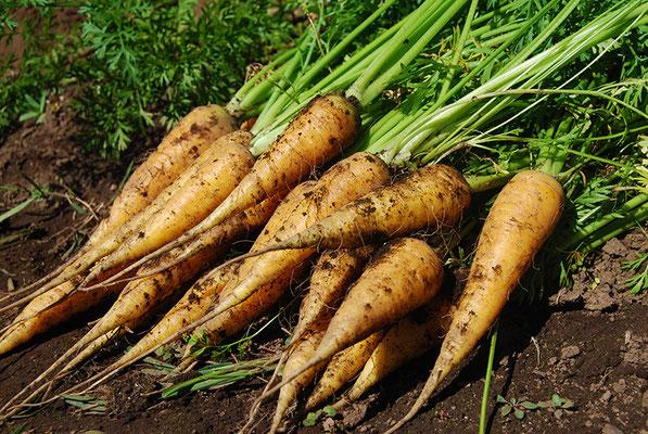 当店の畑で取れた自家製野菜(無農薬・有機肥料)は、使う分だけを毎朝収穫