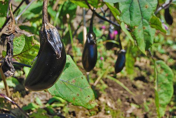 信州の爽やかな風と光に包まれて、元気に育つ野菜たち