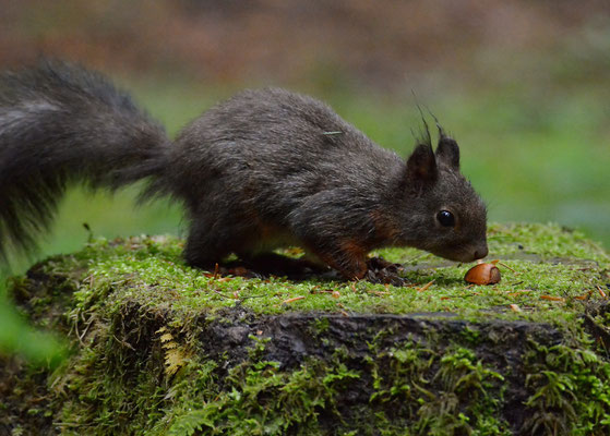 Junges Eichhörchen - Allgäu, Mai 2015