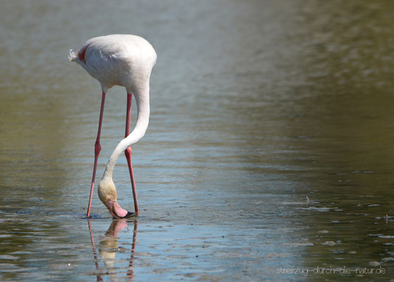 Flamingo - Camargue, August 2016