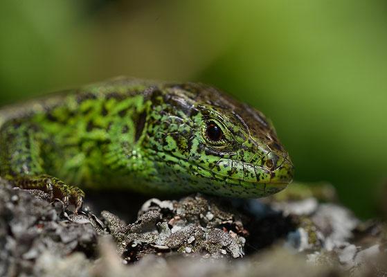 Zauneidechse (Männchen) - Albtrauf, Mai 2013