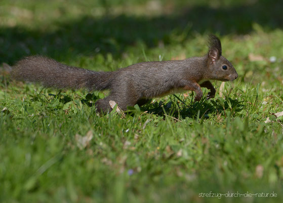 Eichhörnchen - Reutlingen, April 2017