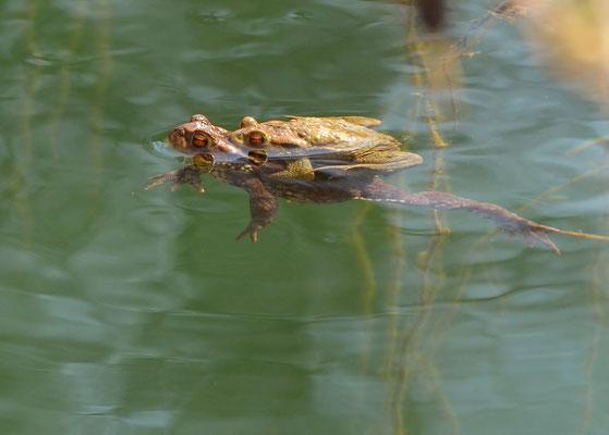 Erdkröten - Altrauf, April 2015