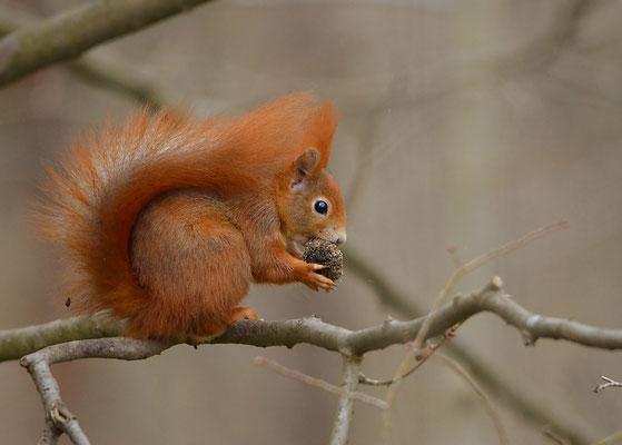 Eichhörnchen - Breisach