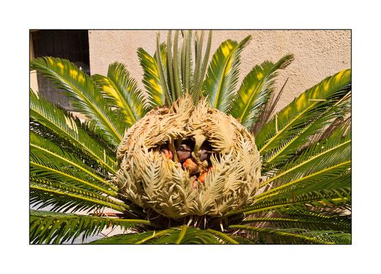 03/09/2012 Fiore della palma nana